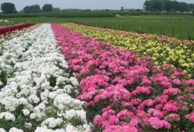 Rozenkwekerij La Vie en Roses in Moorsel