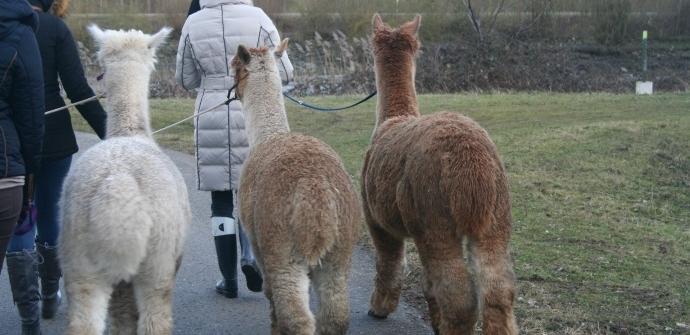 Alpaca Spirit in Dendermonde