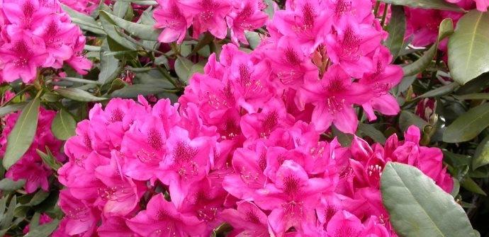 Een afbeelding van Rhododendronkwekerij Goossens