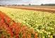 Een afbeelding van Buysse Dirk / Kwekerij van begonia's en gloxinia's